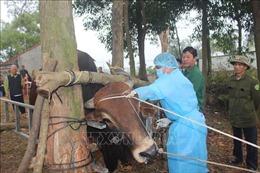 Ngăn ngừa bệnh viêm da nổi cục trên gia súc lan rộng
