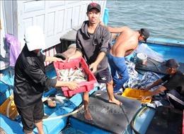 Ngư dân Quảng Trị được mùa cá nục