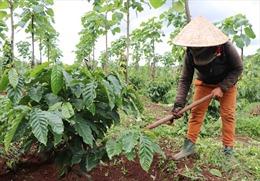 Tập trung nguồn lực phòng trừ dịch bệnh trên cây cà phê