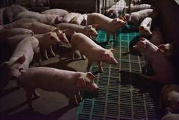 Tập trung ngăn chặn xâm nhiễm bệnh dịch tả lợn châu Phi vào Việt Nam