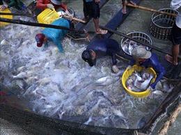 Doanh nghiệp trực tiếp đến ao trả tiền mặt mua cá tra dù giá tăng cao