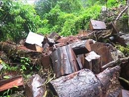Gỗ nghiến lại bị chặt hạ trái phép tại rừng đặc dụng Phong Quang, Hà Giang