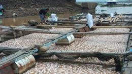 1.500 tấn cá chết, người nuôi cá bè Đồng Nai được nhận tiền hỗ trợ