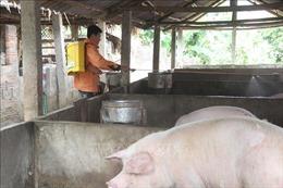 Yên Bái khống chế, dập ổ dịch lở mồm long móng trên đàn lợn
