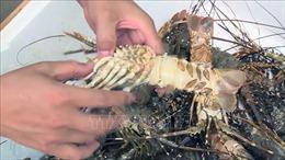 Tôm hùm ở Phú Yên chết do nuôi mật độ dày