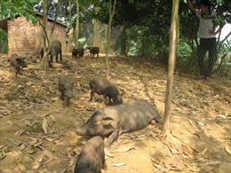 Đình chỉ dự án chăn nuôi lợn rừng tại Bắc Quang, Hà Giang