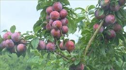 Mộc Châu sản xuất các loại nông sản có giá trị hàng hóa cao