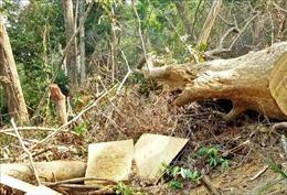 'Lâm tặc' mở đường, phá rừng thời gian dài mà chủ rừng không hay biết