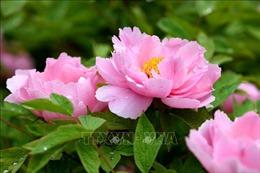 Ngọt ngào sắc hoa mẫu đơn đang nở rộ