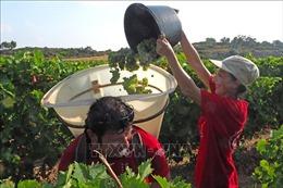 Châu Âu tiếp tục dẫn đầu thế giới về sản lượng rượu vang