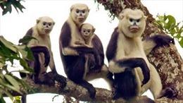 Bảo vệ loài linh trưởng quý hiếm thoát khỏi nguy cơ tuyệt chủng