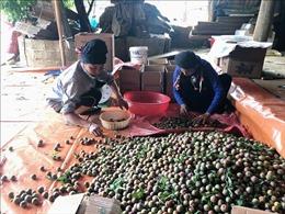 Mận hậu Sơn La lần đầu xuất khẩu chính ngạch sang Campuchia