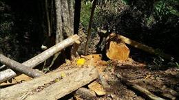 Khởi tố, bắt tạm giam đối tượng khai thác gỗ trái phép