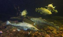 EU cấm đánh bắt cá tuyết tại vùng biển Baltic