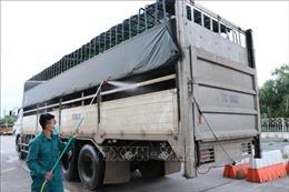 Hướng dẫn bổ sung biện pháp phòng, chống bệnh dịch tả lợn châu Phi