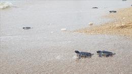 Cứu hộ, thả hơn 1.530 con rùa quý hiếm về biển an toàn