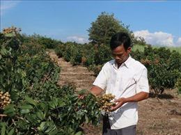 Nông nghiệp Tây Nguyên thích ứng với biến đổi khí hậu - Bài 3: Chuyển đổi cơ cấu cây trồng