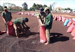 Giá cà phê có xu hướng tăng do lo ngại thiếu hụt nguồn cung
