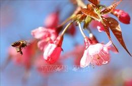 Lung linh sắc hoa Tớ Dày