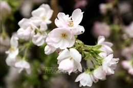Rực rỡ hoa anh đào trên cao nguyên Măng Đen 