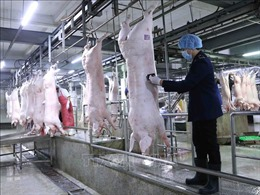 Giá lợn hơi tiếp tục giảm, có nơi dưới 40.000 đồng/kg
