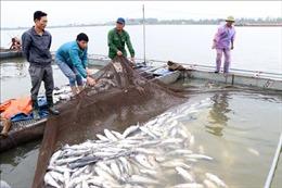 Hơn 100 tấn cá lồng chết trắng sau khi dòng nước đen chảy qua khu vực nuôi