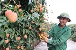 Giám sát chặt quy trình sản xuất ở các vùng trồng vải xuất khẩu