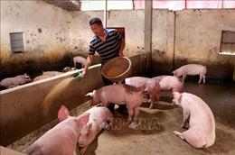 Giá lợn hơi có xu hướng về mốc 80.000 đồng/kg