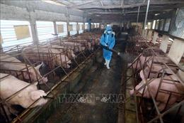 Dịch COVID-19: Tăng đàn lợn bảo đảm an toàn sinh học