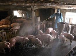 Hộ chăn nuôi nhỏ lẻ không có lợn để bán dù giá lợn hơi liên tục tăng