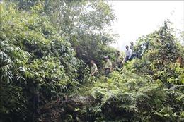 Xử lý nghiêm tình trạng xâm lấn đất rừng tự nhiên để trồng quế
