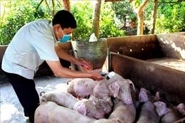 Đồng Tháp khôi phục đàn lợn theo hướng chăn nuôi quy mô lớn