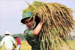 Lực lượng vũ trang giúp dân gặt lúa bị gãy đổ