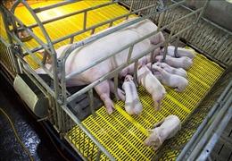 Kiểm soát chặt việc tái đàn lợn sau khi hết dịch tả châu Phi tại Kiên Giang