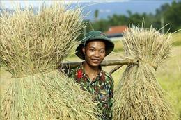 Bộ đội 'đội nắng' giúp dân thu hoạch lúa