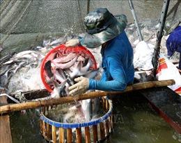 Lỗ hơn 3.000 đồng/kg cá tra, người nuôi 'méo mặt'