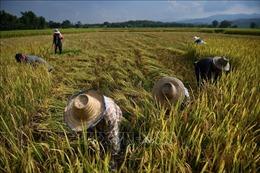 Thái Lan thúc đẩy chiến lược sản xuất lúa gạo theo định hướng thị trường