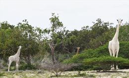 Phát hiện hươu cao cổ lông trắng quý hiếm ở Kenya