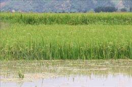 Hà Nội có gần 500 ha lúa, hoa màu bị ngập úng