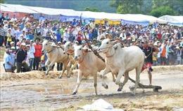 An Giang: Dừng tổ chức Hội đua bò Bảy Núi lần thứ 27 năm 2020