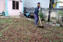 Kon Tum 'khát' lao động cho vụ thu hái cà phê