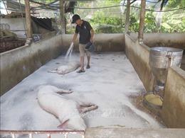 Thái Nguyên: Dịch tả lợn châu Phi tái bùng phát tại nhiều địa phương