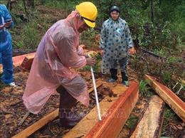 Lâm Đồng: Phát hiện thêm một vụ phá rừng thông nghiêm trọng tại huyện Đam Rông
