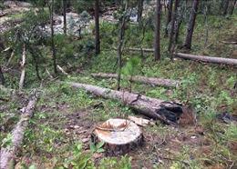 Xác định 6 đối tượng tình nghi cưa hạ hơn 100 cây thông cổ thụ tại Lâm Đồng