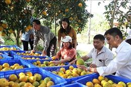 65 tấn cam lòng vàng Hà Giang được tiêu thụ ở chuỗi siêu thị VinMart