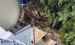 Bắt được một cá thể khỉ quý hiếm tấn công người dân tại Bình Dương