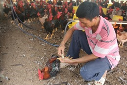 Thành công với mô hình nuôi gà ri có truy xuất nguồn gốc