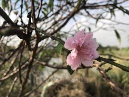 Hồng thắm sắc đào phai Quảng Chính