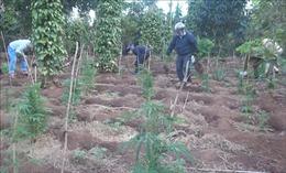 Phát hiện thanh niên trồng cây cần sa tại nhà