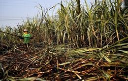 Bộ Công Thương áp thuế chống bán phá giá với đường mía có xuất xứ Thái Lan
